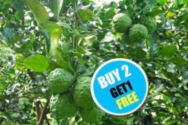 20 Thai Giant Kaffir Lime Seeds,Rare Fragrant Source of Lemon,Leaves for Cooking  (#B 2 G 1 Free)