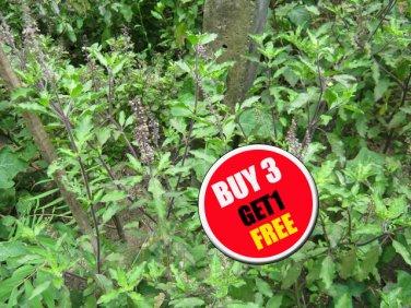 (#B 3 G 1 Free) Red Holy Basil Seeds Thai herbs 500 seeds