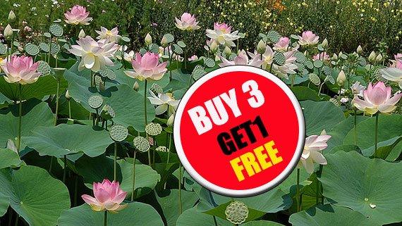 Nelumbo nucifera 20 Seeds, Lotus Seeds, Pink Flower Aquatic Plants Beautiful  (#B 3 G 1 Free)