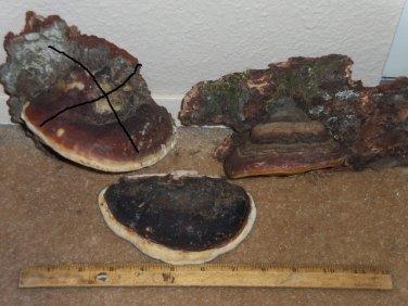 NATURAL TREE CONK Shelf Fungus - Small & Medium