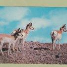 Pronghorn Antelope Postcard Vintage Wyoming Prairie Wildlife