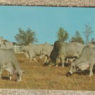 Brahman Cattle Post Card Ranch Farm Chrome Unused