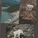 Rocky Mountain Goat Postcards Wildlife Montana Rocky Mountains Idaho Washington