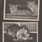 Two Unused BIG CAT Vintage Postcards TIGER JAGUAR