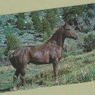 Quarter Horse Stallion Postcard Equine