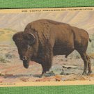 Bison Bull Buffalo Vintage Post Card Unused Yellowstone National Park