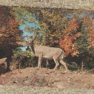 Whitetail Deer Buck Postcard Wildlife Chrome