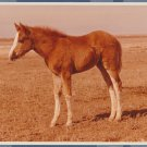 Quarter Horse Filly In Winter Coat, Color Photograph