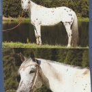 Appaloosa Horse Color Photo Postcards Lot of Two