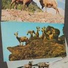 BIGHORN SHEEP Postcards Animals Rocky Mountain Wildlife Fauna