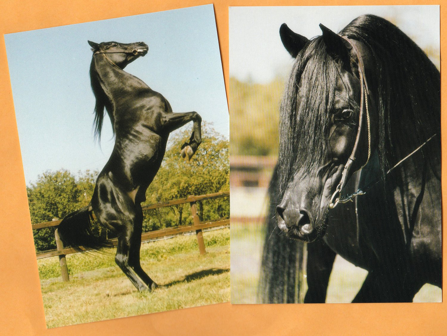 Two Arabian Horse Postcards Mouka - Tuam Black Rearing Stallion