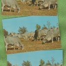 BRAHMAN CATTLE FARM RANCH POSTCARDS CHROME UNPOSTED