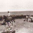 Open Range Branding Postcard Cowboys Cattle Western Horses