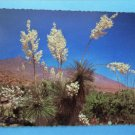 Picturesque Yucca At Springtime Postcard Spanish Bayonet Floral Desert Scene