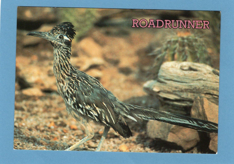 Roadrunner Full Color Postcard, Collectible, Cuckoo, Bird, Avian