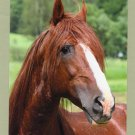 Mangalarga Paulista, Stallion, Horse, Equine, Never Used, Postcard, Chestnut, Brazil