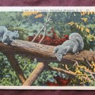 A Pair of Nutcrackers, Postcard, Squirrels, New York, Adirondack Mountains, Wildlife