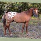 Appaloosa Horse Stallion Postcard, Standing Pose Handsome Equine