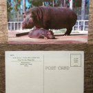 Hippos, San Diego Zoo, Animals, Postcard, Hippopotamus, African, Wildlife