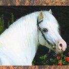 Welsh Section A Pony / Horse Postcard, Portrait, Beautiful Head Study, Irene Hohe Photo