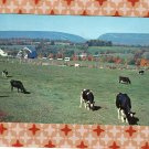 Holstein Dairy Cows Cattle Postcard Peaceful Scene, Pastoral, Pennsylvania, Farm