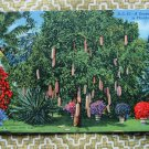 Sausage Tree With Fruit, Riviera Gardens, Florida Vintage Postcard