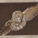 Postcard SCREECH OWL Vintage Bird Wildlife