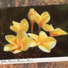 Yellow Plumeria Blossoms, Hawaii Postcard, Floral, Flower, Plant