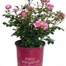 Easy Elegance Roses - Rosa Pinktopia (Rose) Rose, pink flowers, Rosa Pinktopia