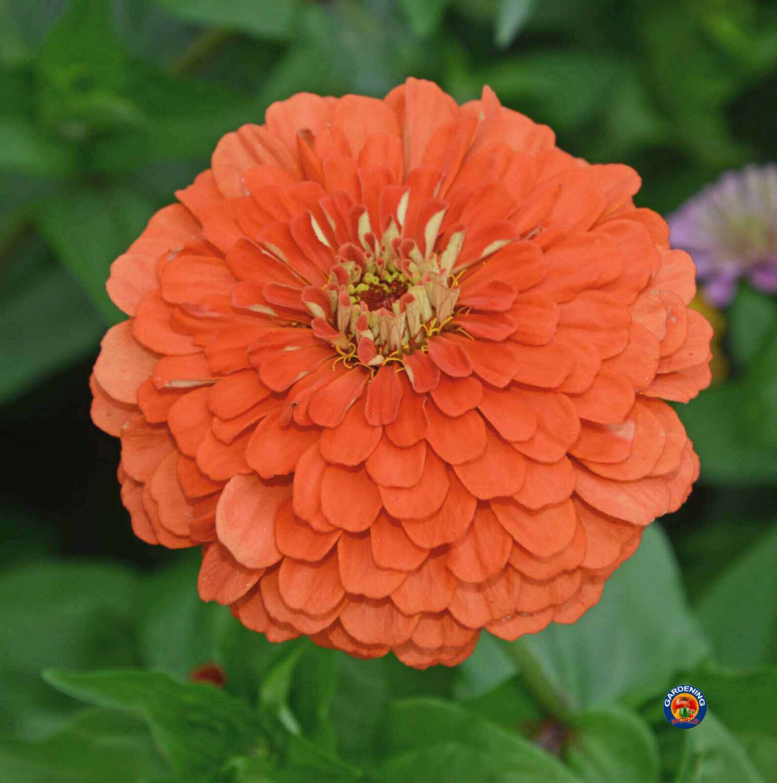 75 Coral Beauty Orange Zinnia Flower Seeds Zinnia Elegans - COMB S/H