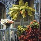French Quarter Balconey Fern New Orleans Baltas Matted Art Print