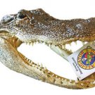 Alligator 9-10 GATOR Head Skull Bayou Swamp New Orleans People Teeth Louisianna