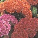 Celosia criscata 'Big Chief Mixed'