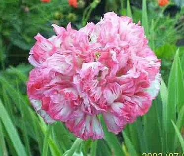 AMAZING Papaver Flemish Antique Peony Poppy ANNUAL