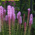 BLAZING STAR - Liatris spicata PERENNIAL Seeds
