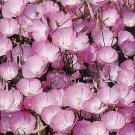 Godetia 'Lilac Blossom'