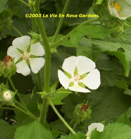 0040 - CEDAR CUP Kitaibelia vitifolia PERENNIAL Seeds