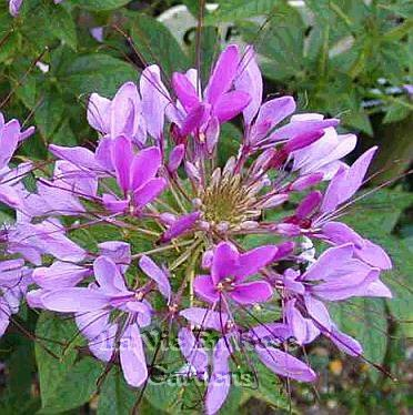 CLEOME Purple Queen SPIDER FLOWER