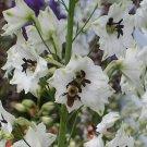 1738 - DELPHINIUM Percival Maiden PERENNIAL Seeds