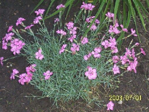 0049 - Perennial DIANTHUS 'Cheddar Pinks' SEEDS
