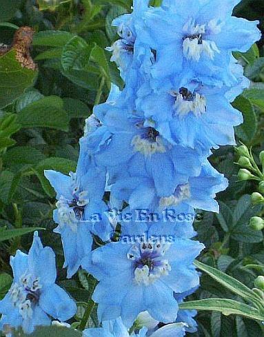 PERENNIAL Dwarf Delphinium 'Catherine' Series Mid-Blue SEEDS