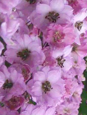 0215 - SEEDS Dwarf Delphinium 'Catherine' Series Rose PERENNIAL