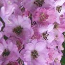 0215 - SEEDS Dwarf Delphinium 'Catherine' Series Rose PERENNIAL