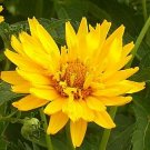 1734 - EXCEPTIONAL PERENNIAL Heliopsis 'Summer Sun' Seeds
