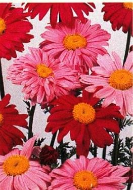 0211 - PERENNIAL Painted Daisy PYRETHRUM Seeds