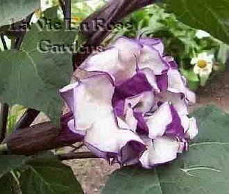 DOUBLE BLOOMED Datura Metel ANNUAL Seeds