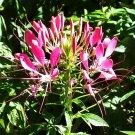 FABULOUS Cleome CHERRY QUEEN Spider Flower Seeds