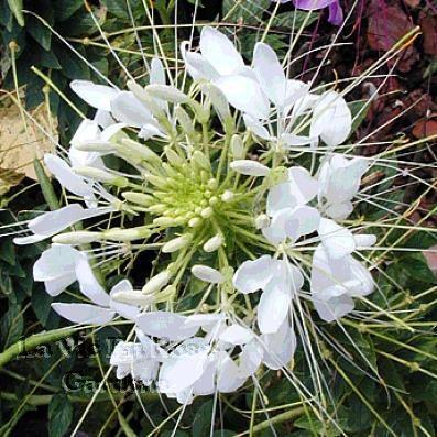 CLEOME Helen Campbell SPIDER FLOWER Seeds