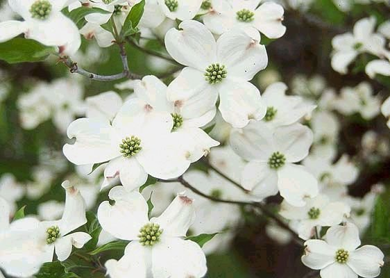 FLOWERING DOGWOOD Astounding Tree SEEDS