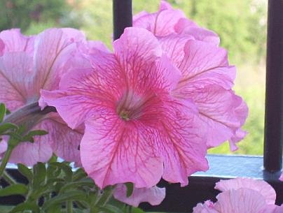 GREAT FOR HANGING BASKETS Petunia ANNUAL Mixed SEEDS
